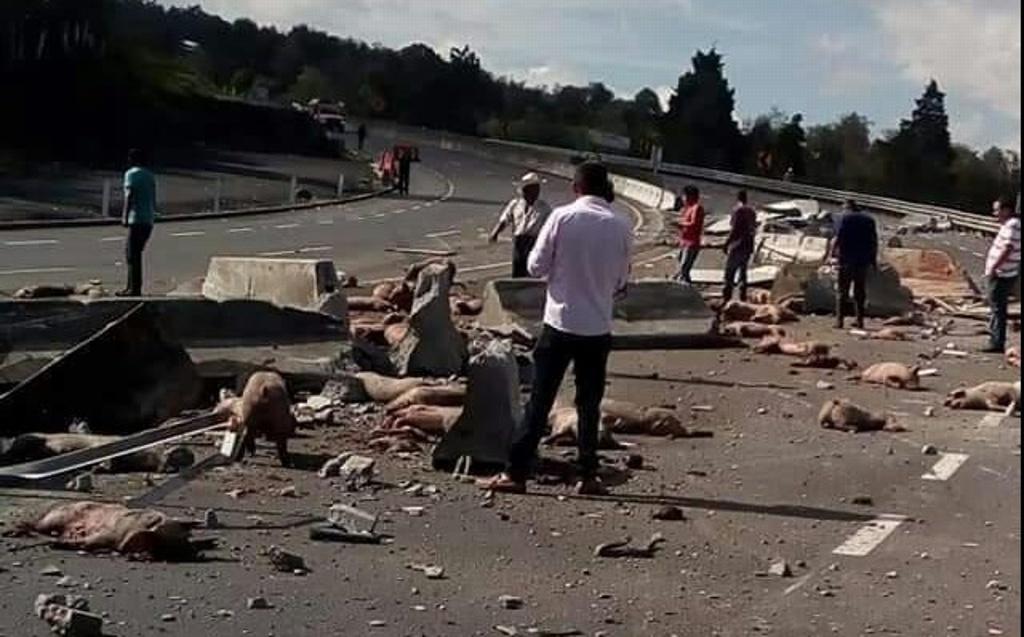 Rapiña en Perote tras volcadura de tráiler que trasladaba cerdos