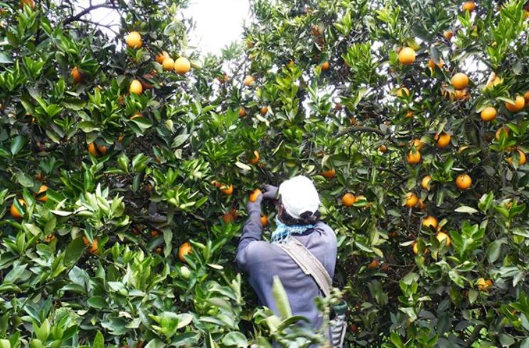 Imposible recuperar huertos citrícolas tras sequía de 2019