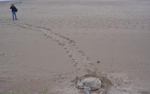 Tortuga lora desova en playas de Coatzacoalcos