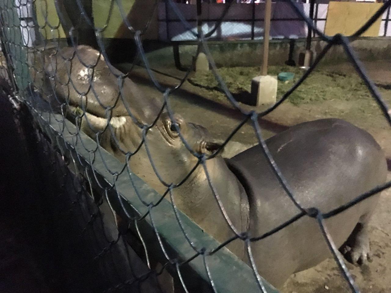 Conoce el nuevo hogar de Tyson, el hipopótamo jarocho