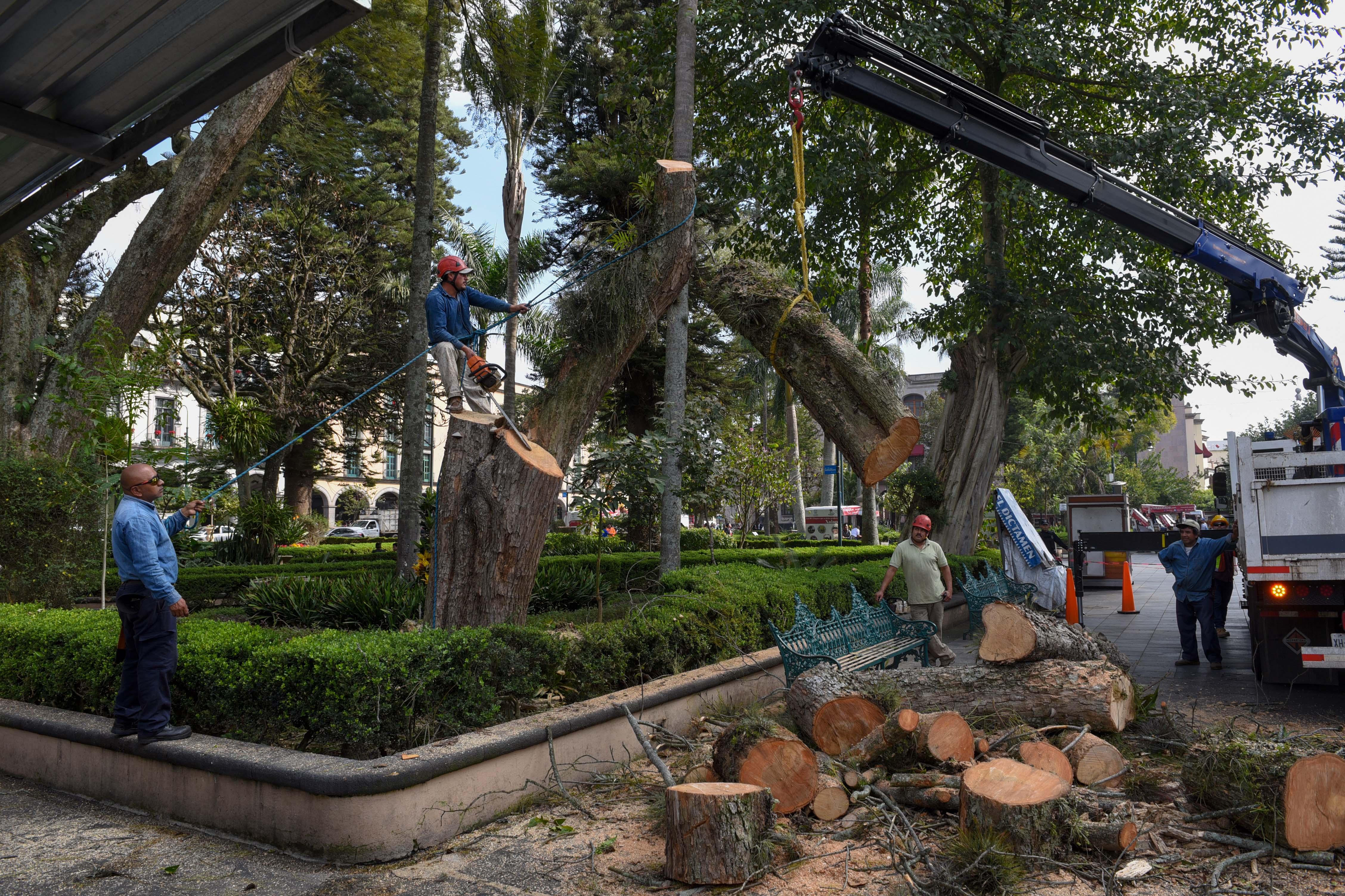 Retiran jacaranda del parque Juárez; era un riesgo para la ciudadanía