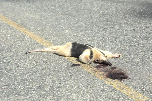 Arroyan a oso hormiguero en Veracruz
