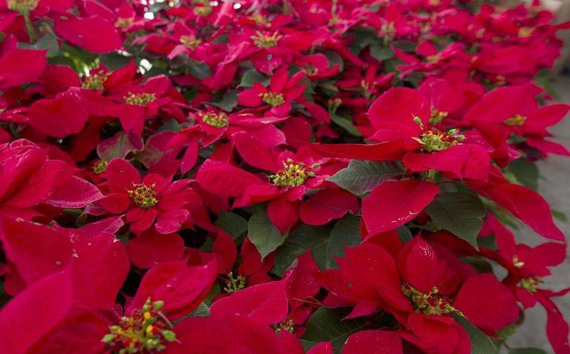 Flor de Noche Buena, símbolo de la Navidad