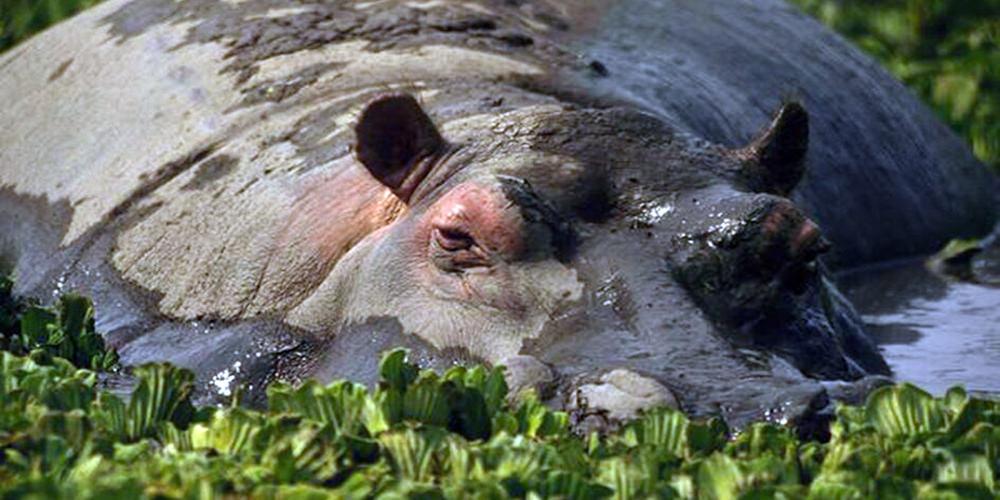PROFEPA monitorea a hipopótamo en las Choapas