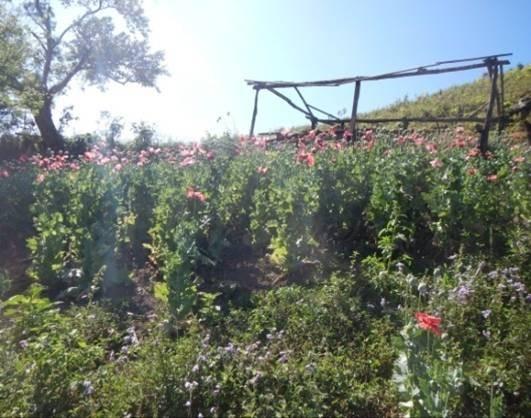 Mil 280 pueblos en la Sierra de Guerrero cultivan amapola