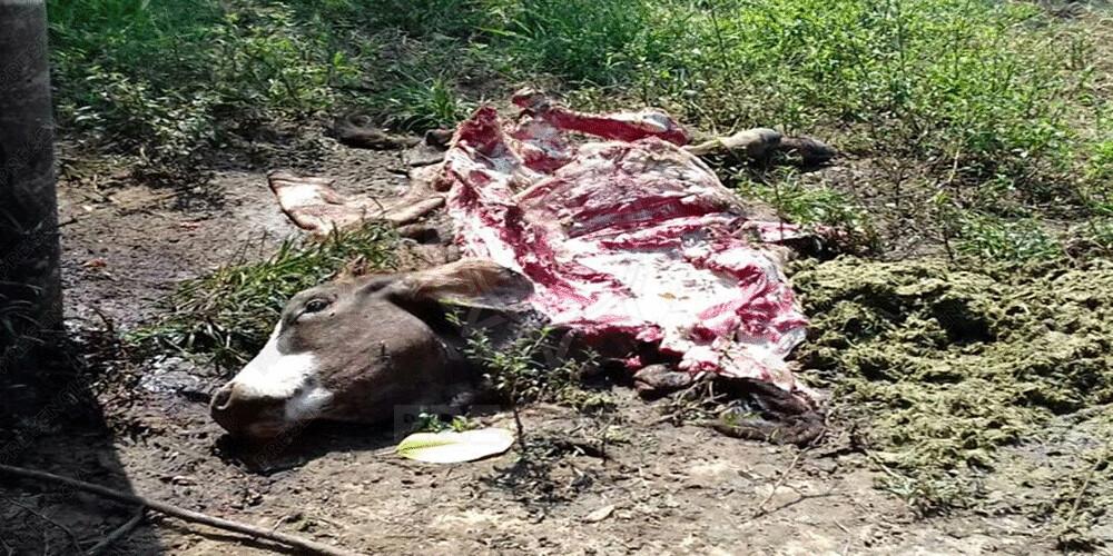 Delincuentes que roban carne destazan reses en ranchos asaltados