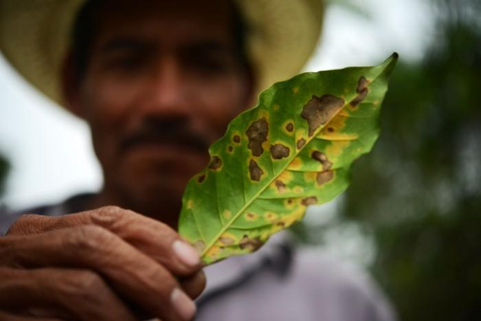 Roya y bajos precios hacen fenecer cafetales en Veracruz