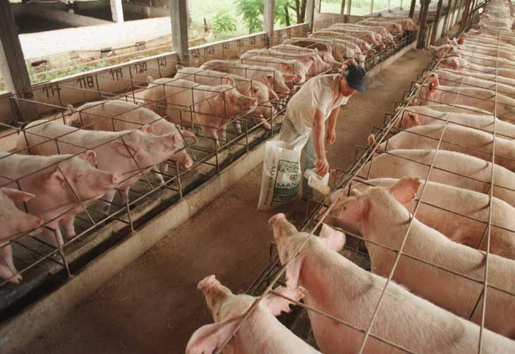Carne de cerdo será más cara a fin de año: porcicultores