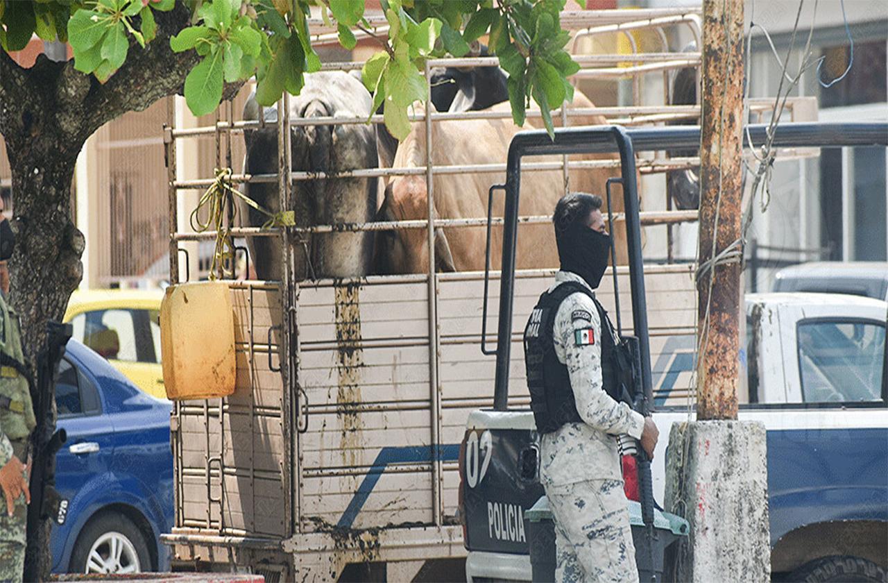 GN detiene a sujetos en Las Choapas por ganado de