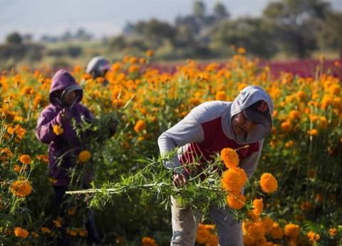 ¿Por qué China produce más flor de cempasúchil que México?