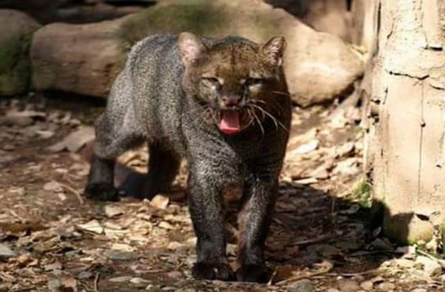 Buscan proteger a 'jaguarundi' suelto en Agua Dulce; es endémico