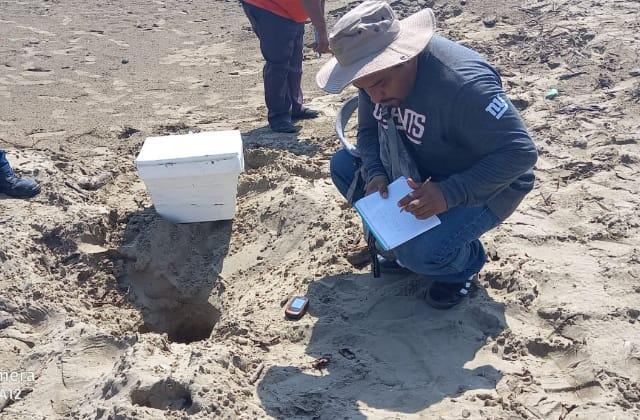 Desovan tortugas más de 100 huevos en playa de Coatzacoalcos