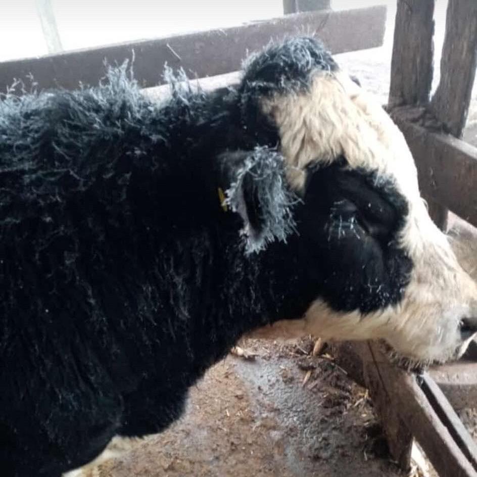 Heladas acabaron con la comida del ganado, hay 9 municipios afectados
