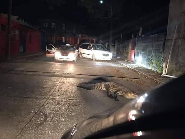 Otro cocodrilo deambulaba por la calle, ahora en Nanchital