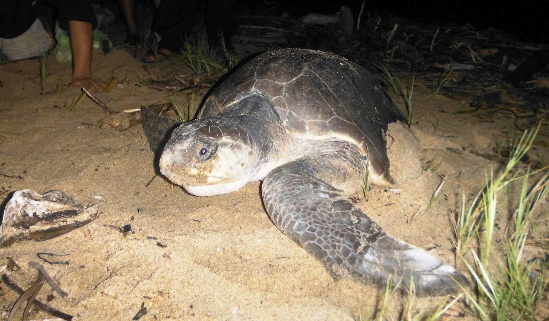Brindarán mayor protección a la tortuga marina