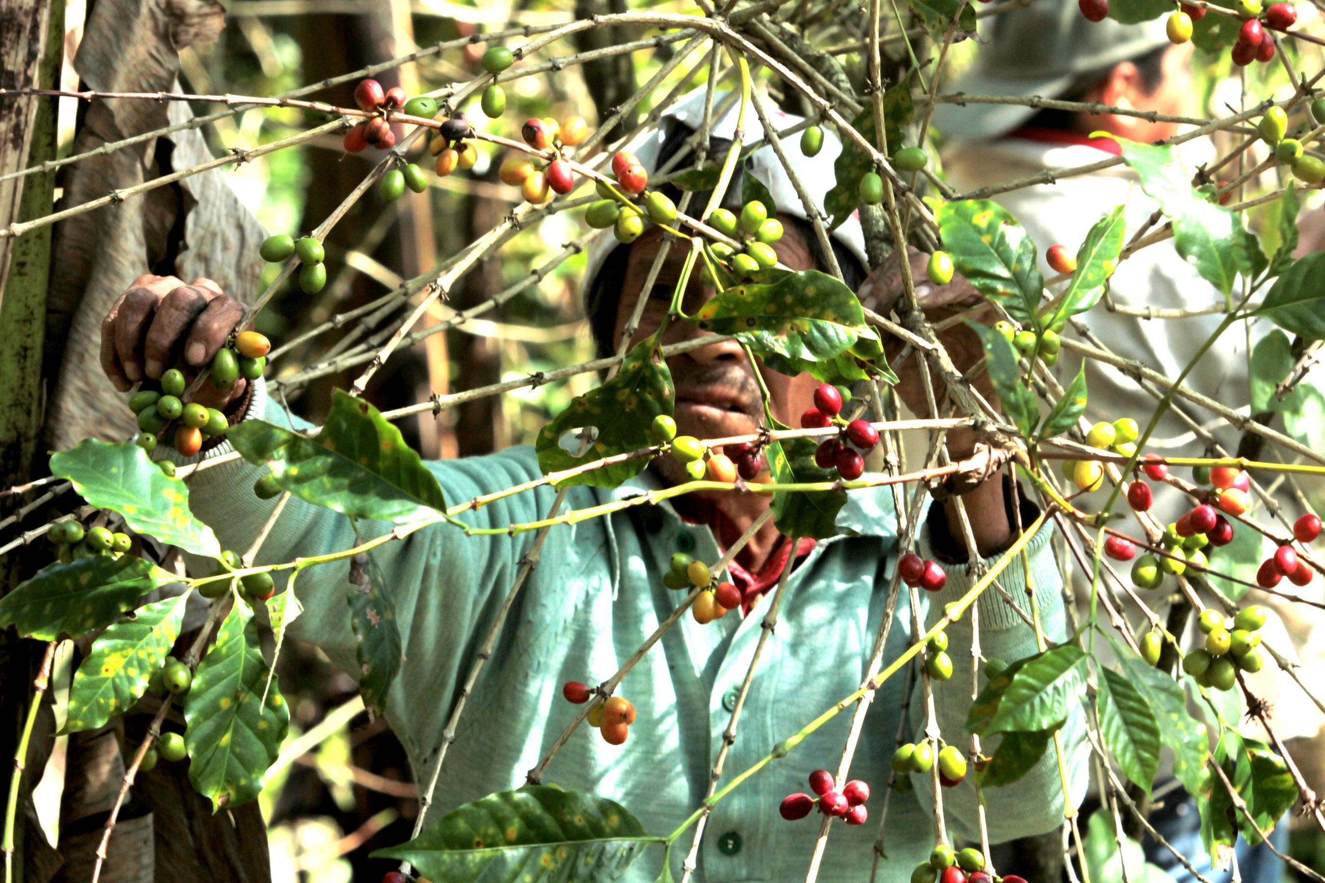 Sin recursos para renovar cafetales en Ixtaczoquitlán