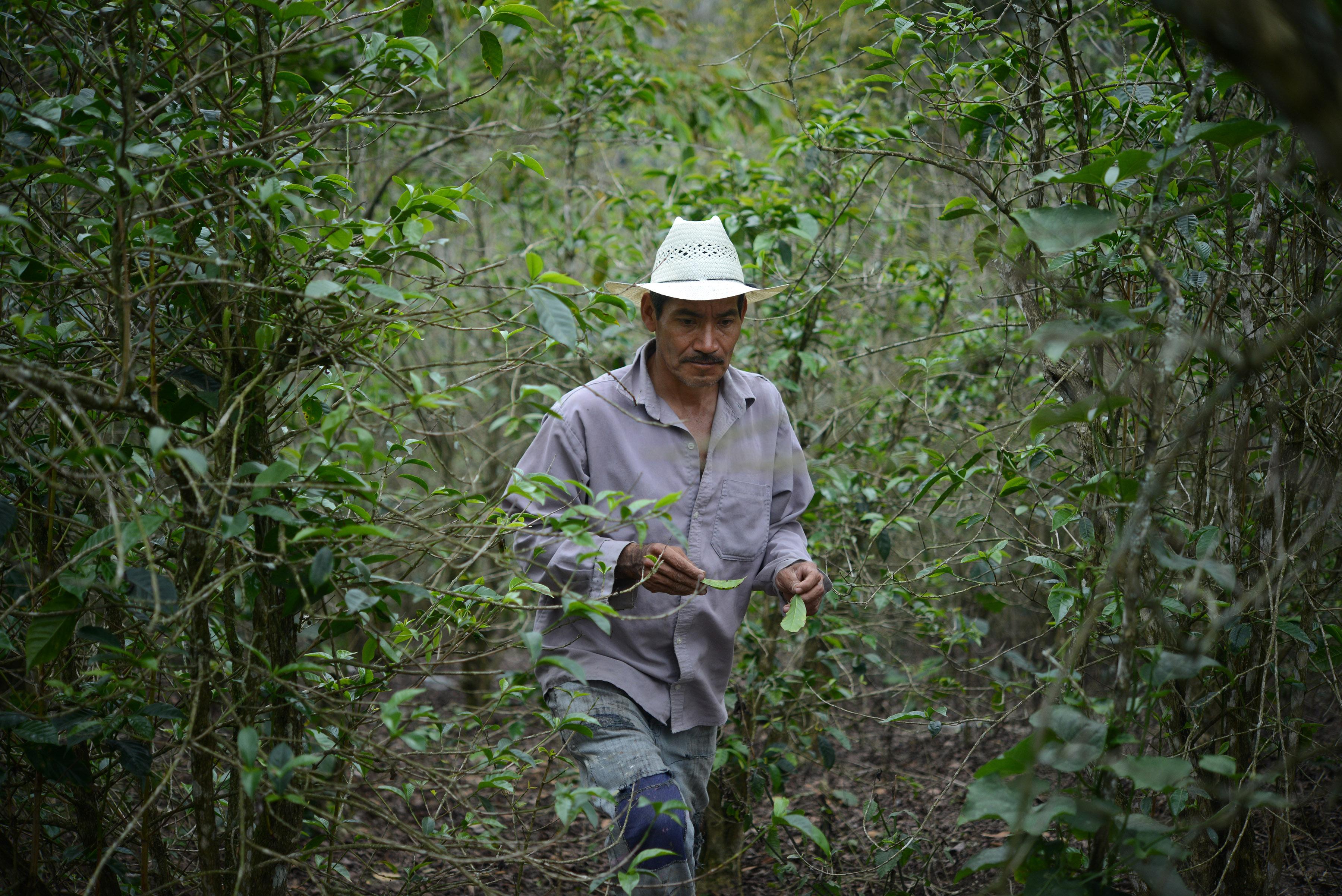 En riesgo 135 mil hectáreas de café por roya