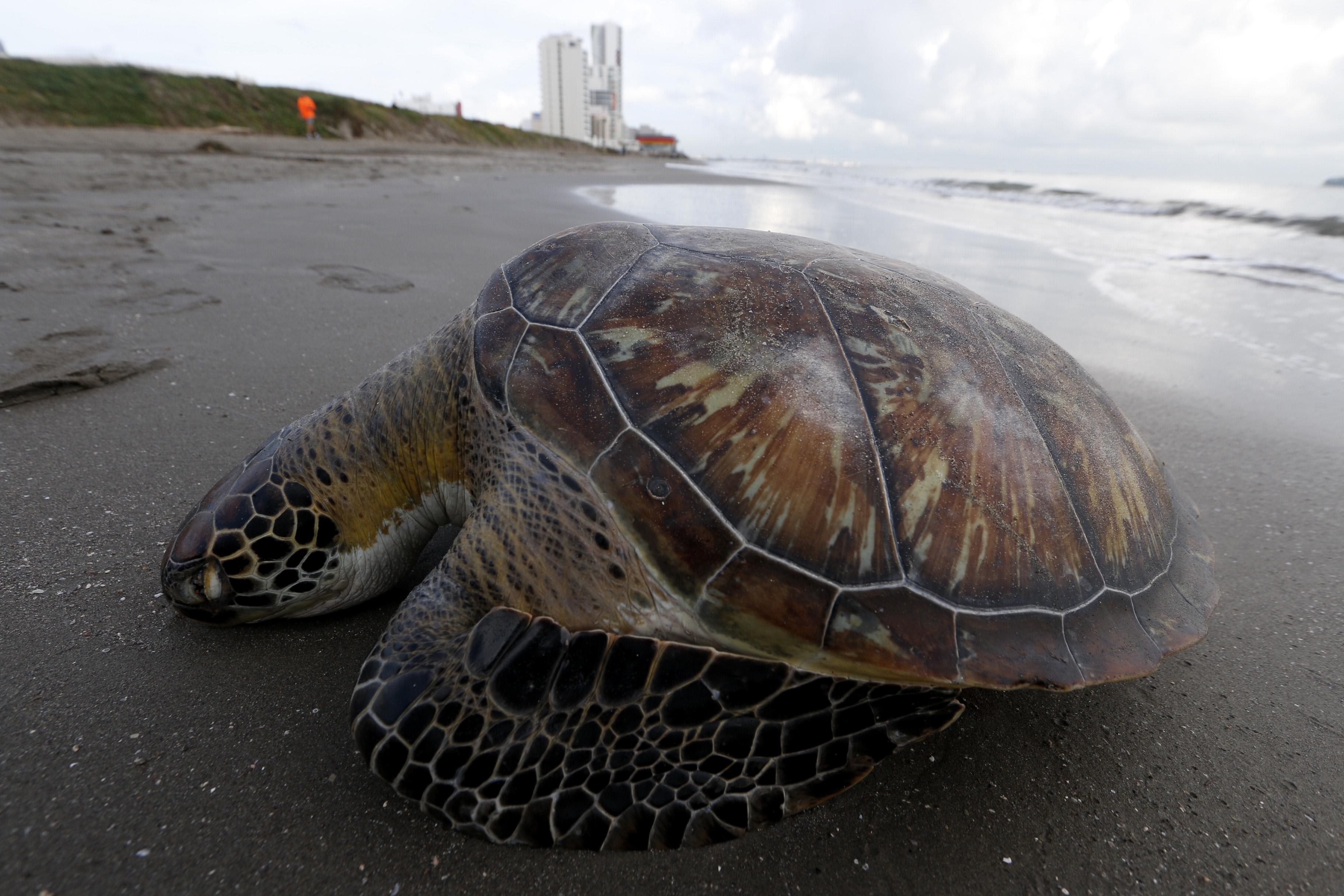 Aparece tortuga muerta en Boca del Río