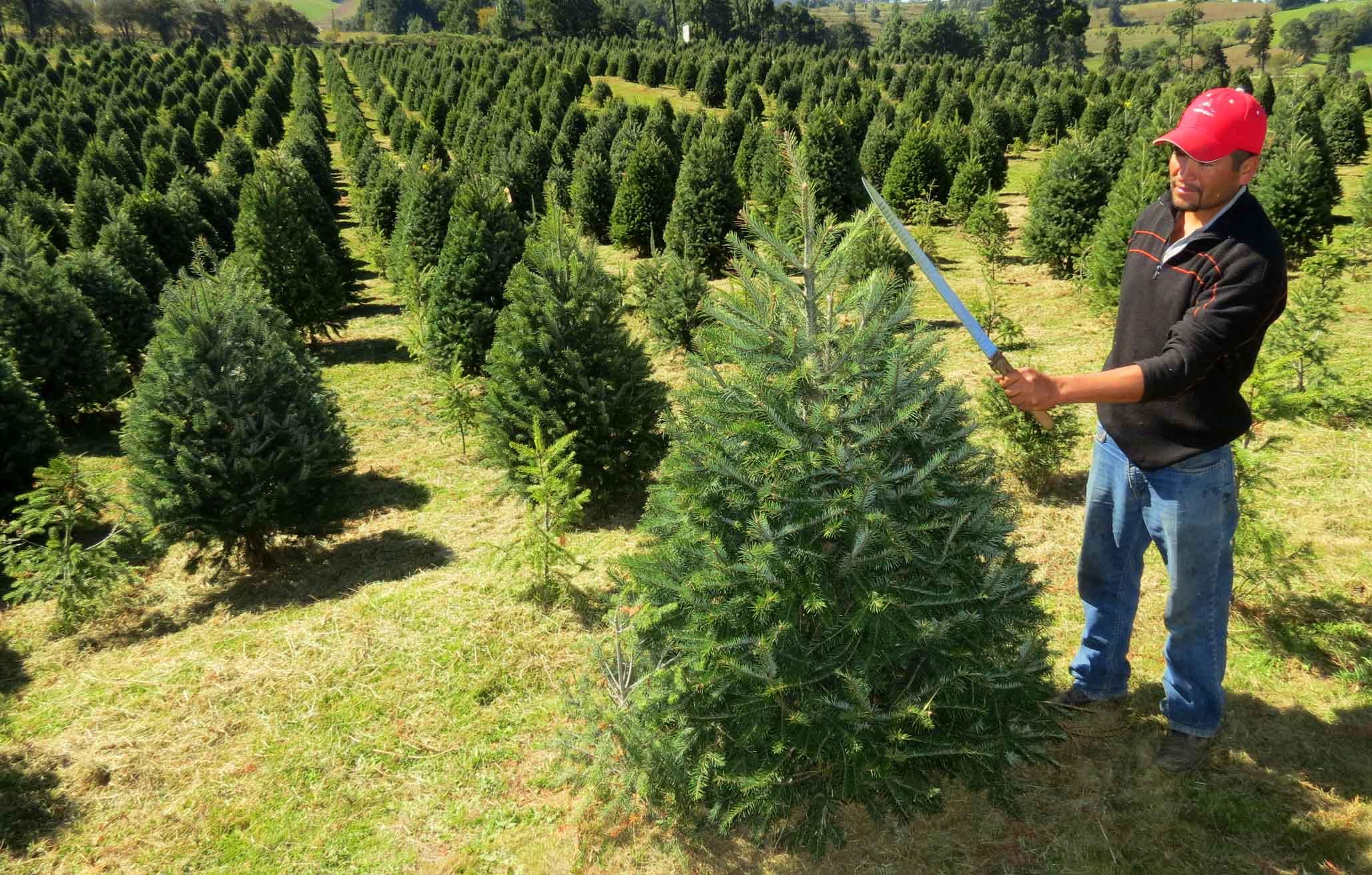 Veracruz, quinto lugar nacional en producción de árboles de navidad