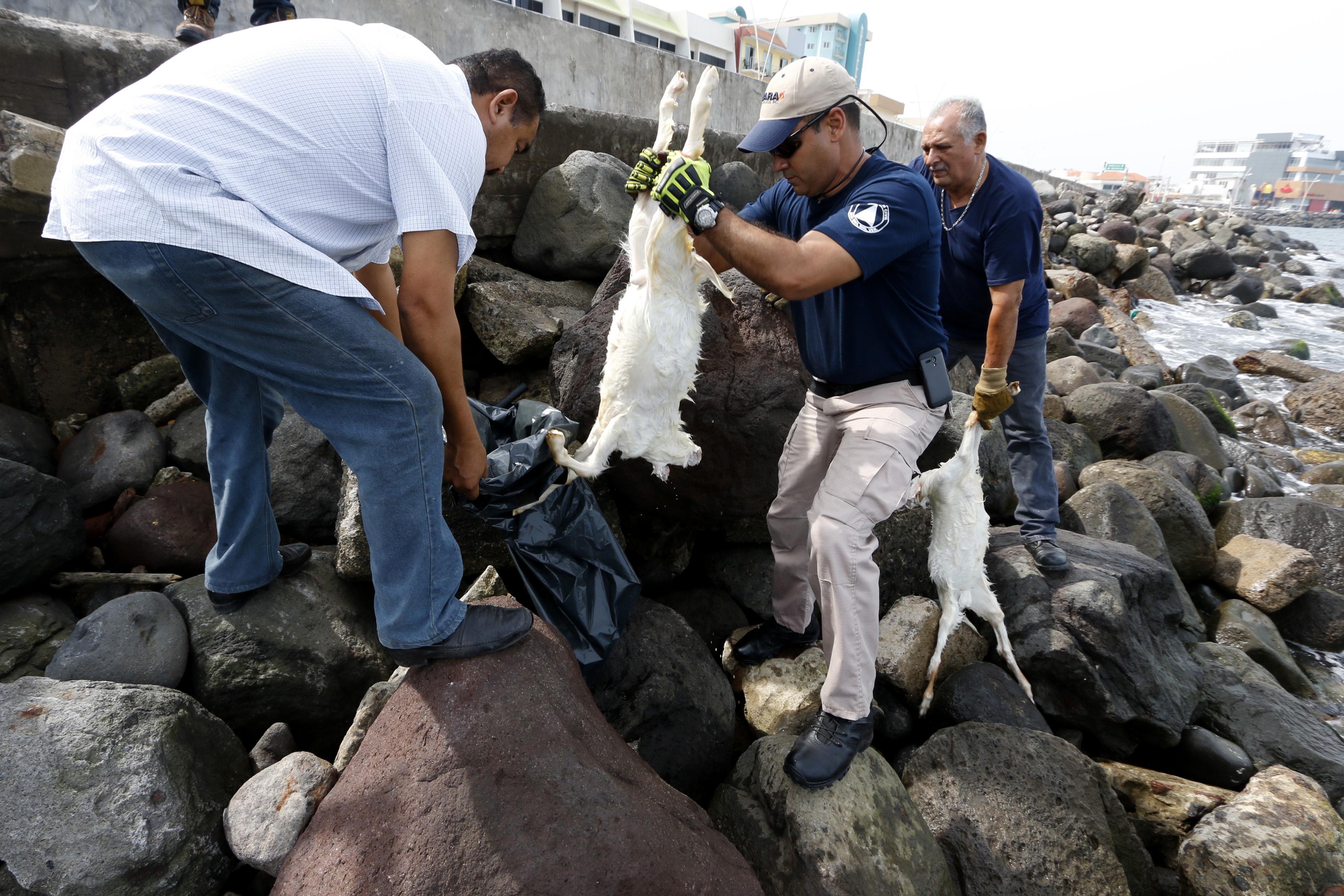 Encuentran cabras sacrificadas en escolleras de Boca del Río