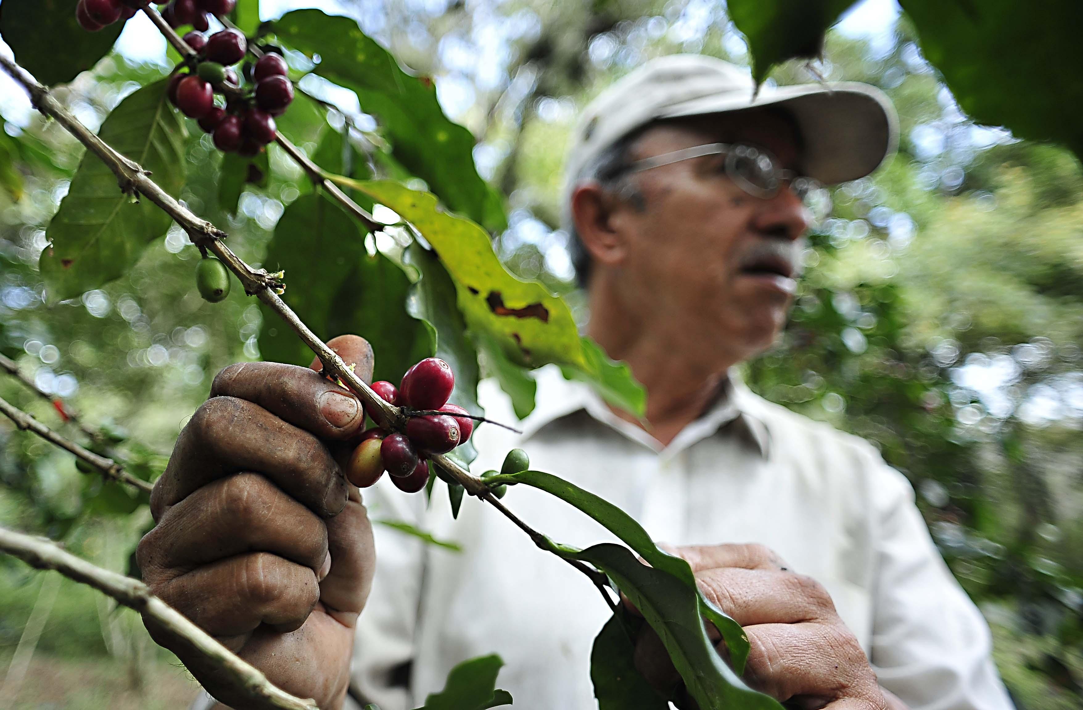 Roya causa la pérdida del 80% de la producción de café