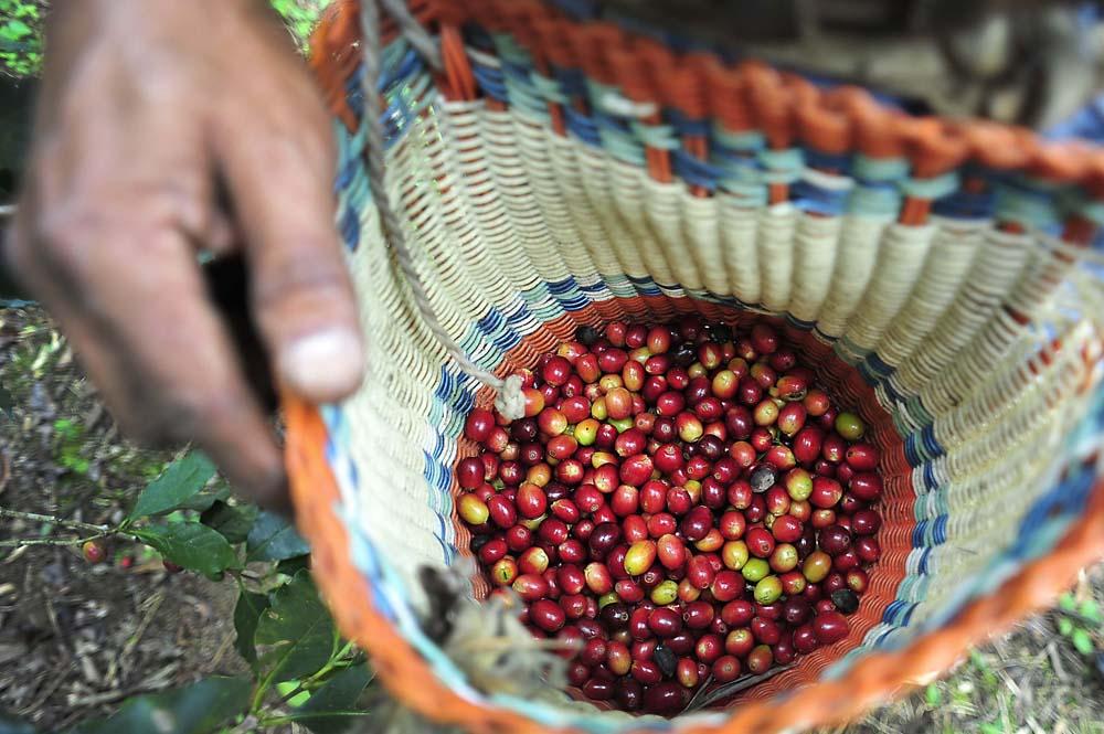 Elección pasada ocasiona pérdidas en el sector cafetalero