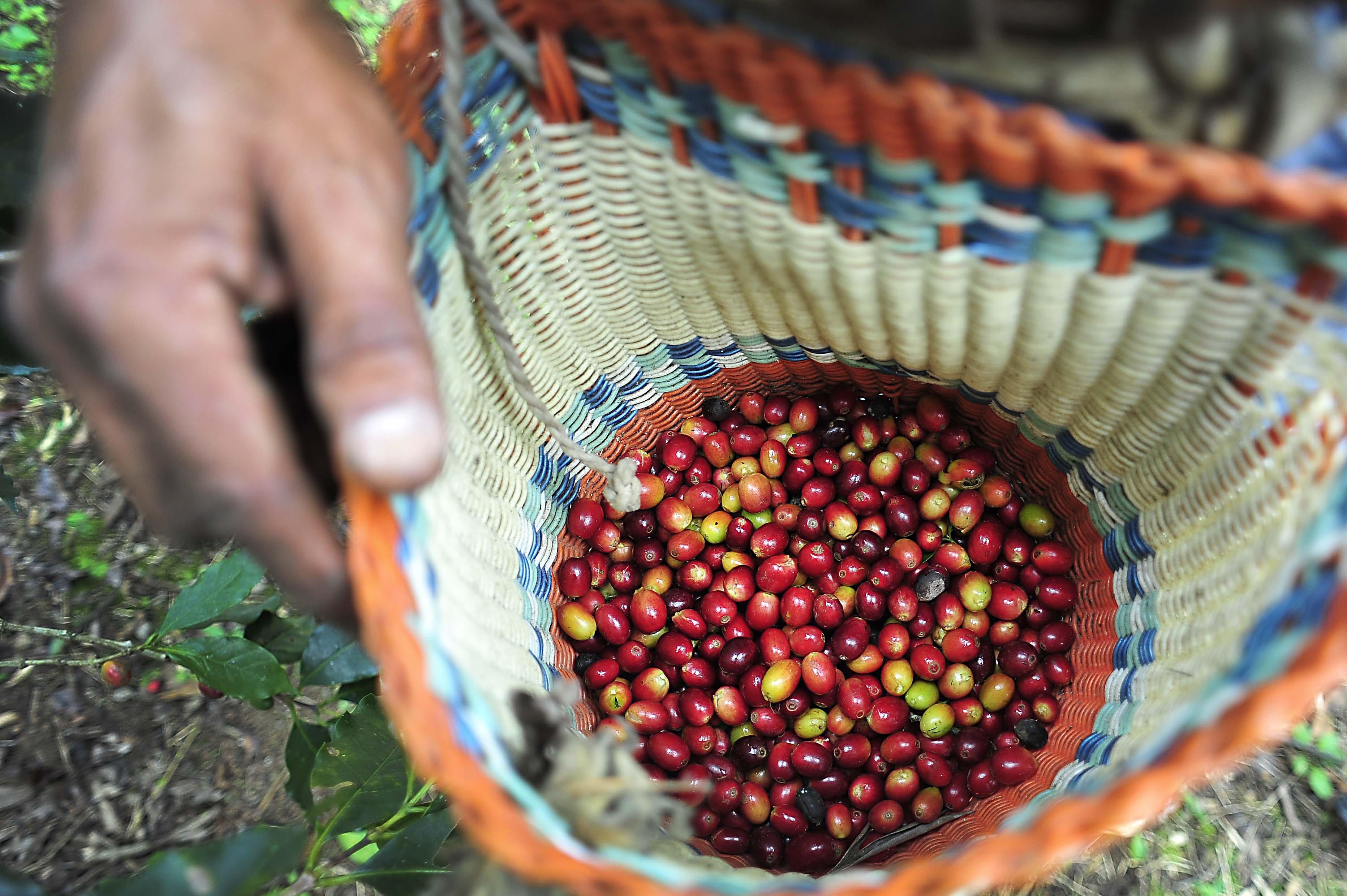 Jóvenes abandonan cafeticultura para buscar otras oportunidades