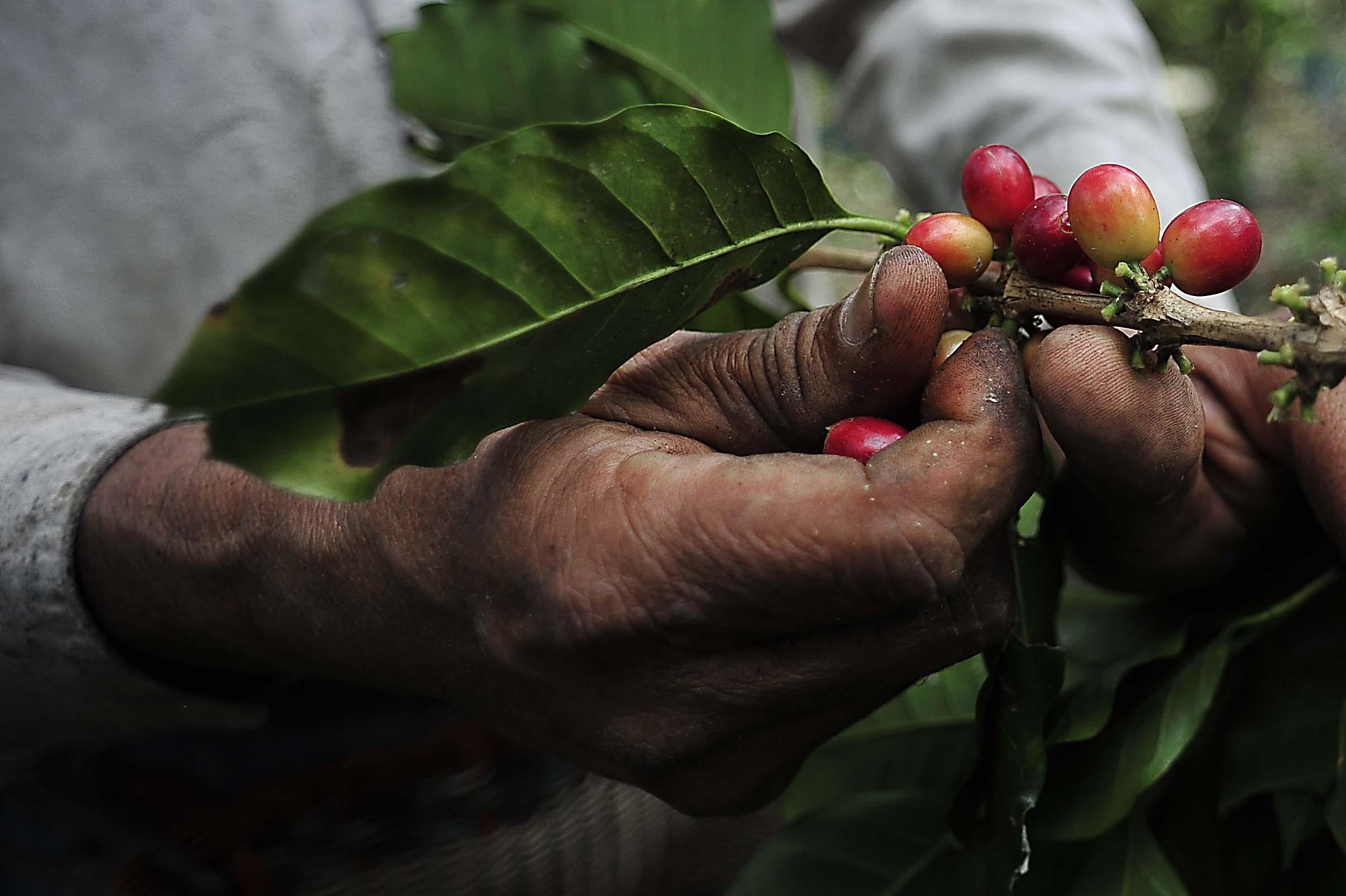 Viveros de Córdoba producirán planta de café tolerante a la roya