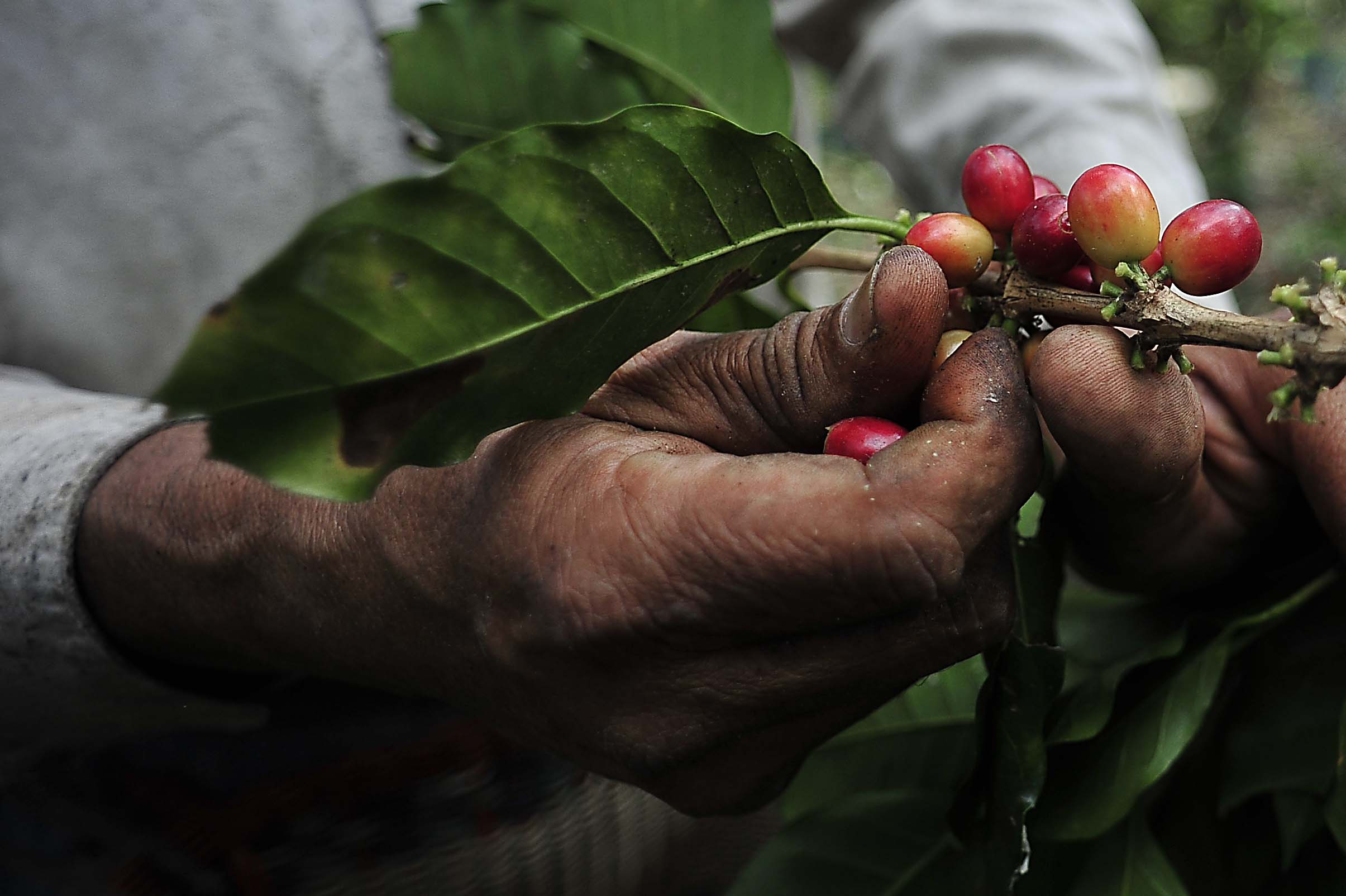 Viveros de c rdoba producir n planta de caf tolerante a for Viveros en cordoba