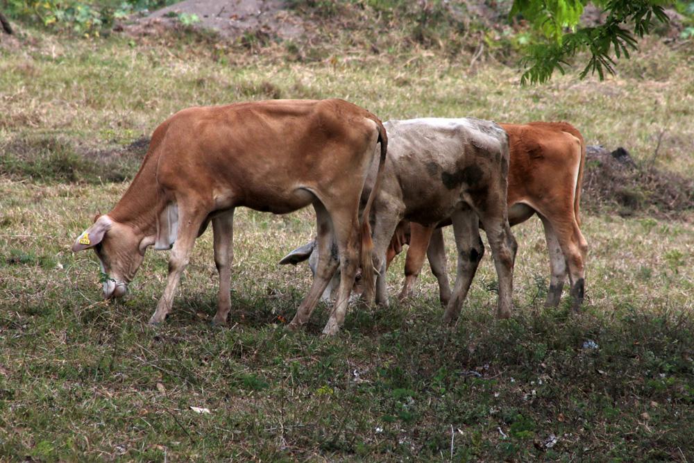 Sequía provoca pérdida de peso en el ganado en Tierra Blanca