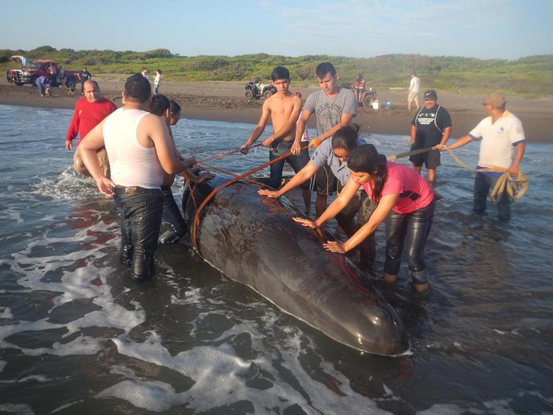 Pocas posibilidades de que ballena varada sobreviva