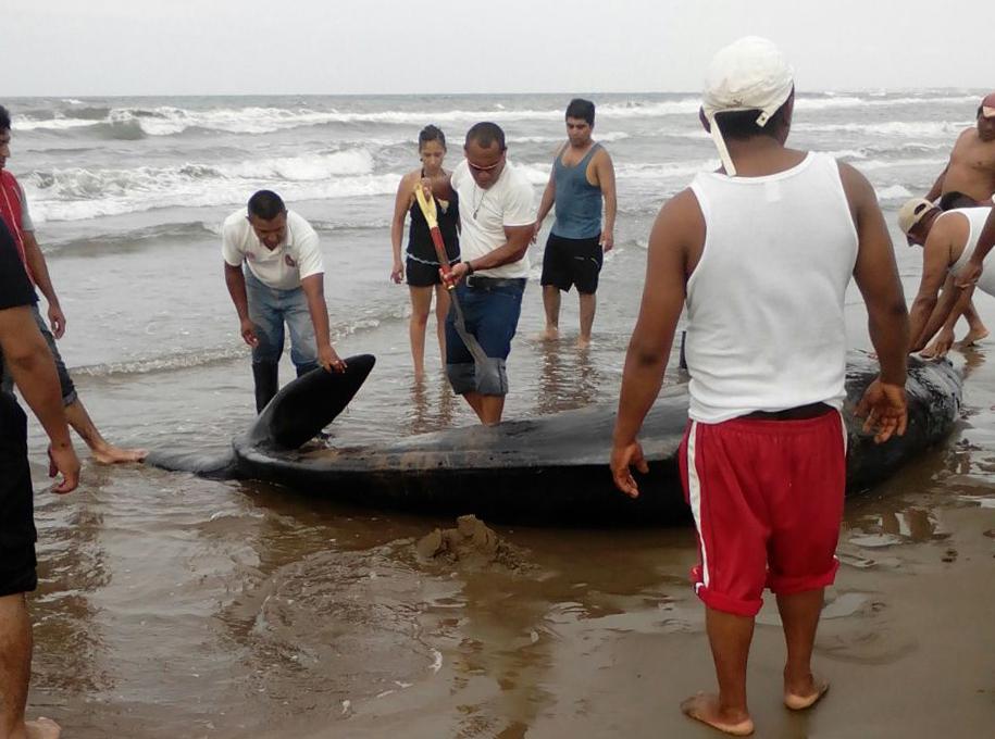 Cachalote recala en playas de Coatzacoalcos