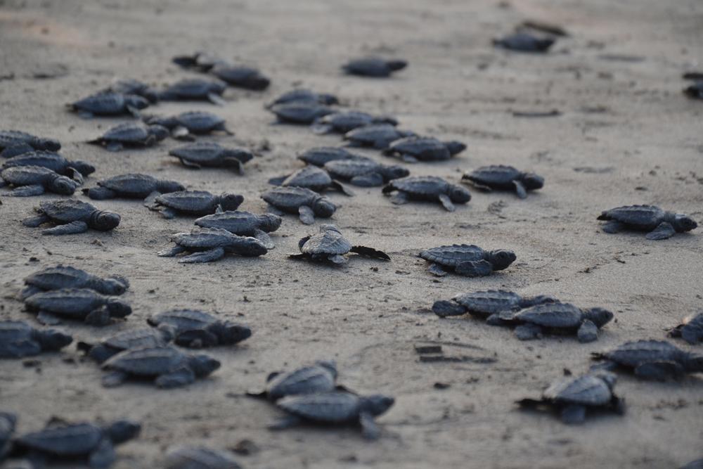 Insuficientes, recursos para proteger a las tortugas en la zona norte