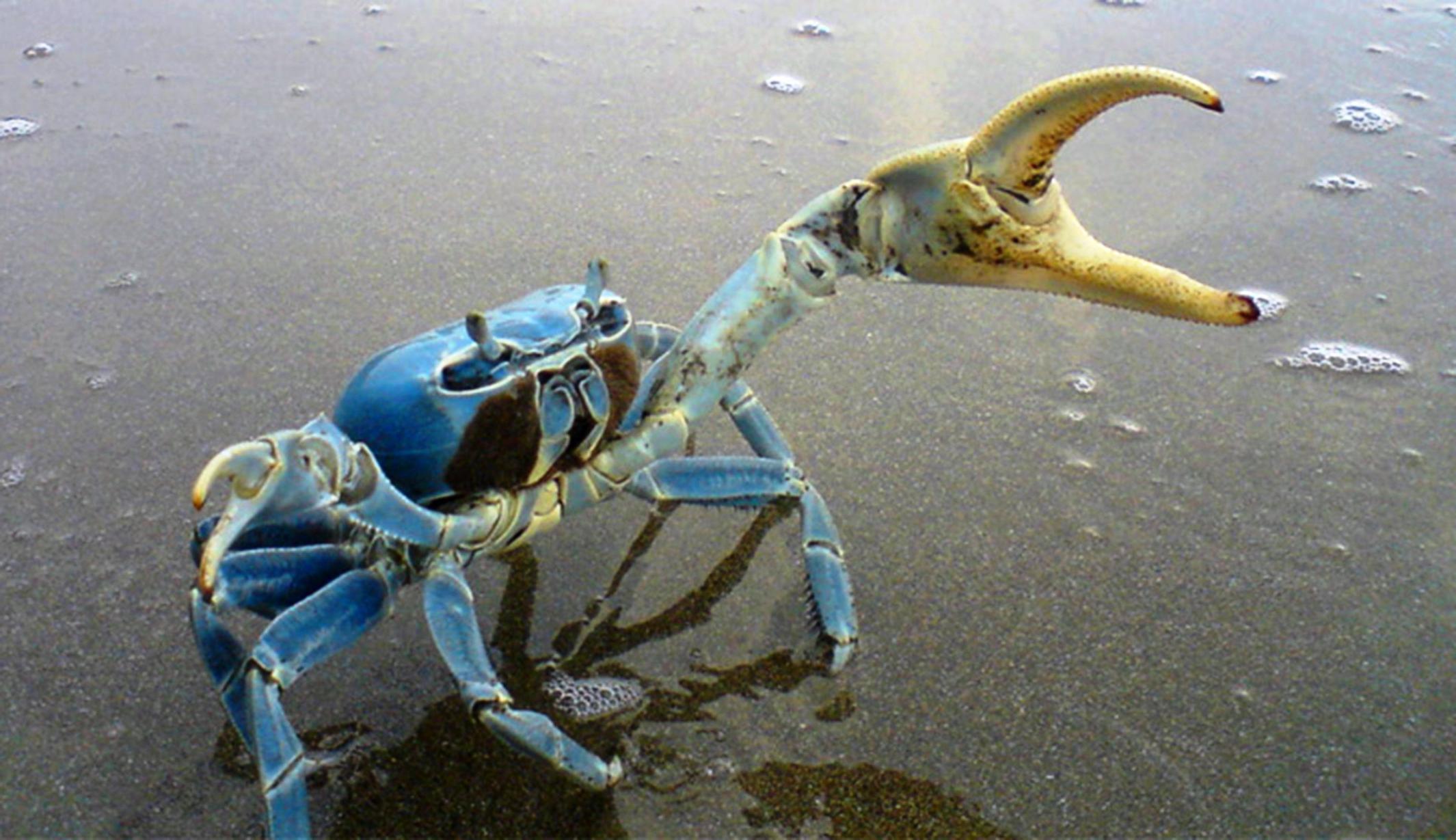 Veracruz: Indiscriminado tráfico y captura de cangrejo azul