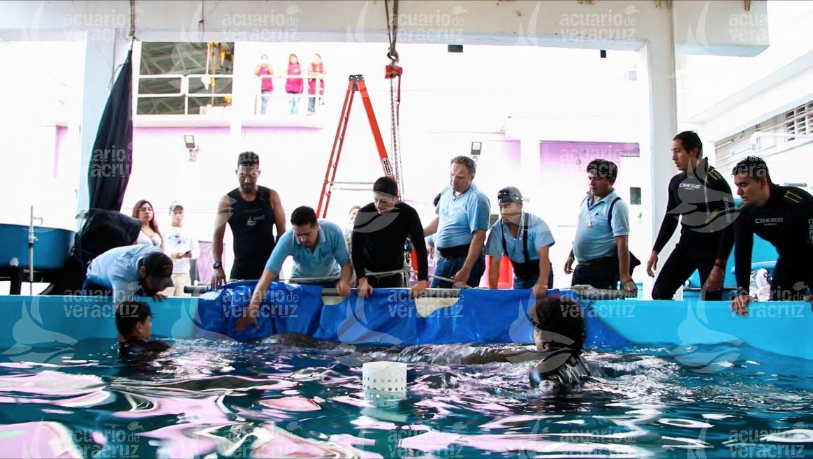 Rescatan a manatí en zona de riesgo por tráfico de embarcaciones