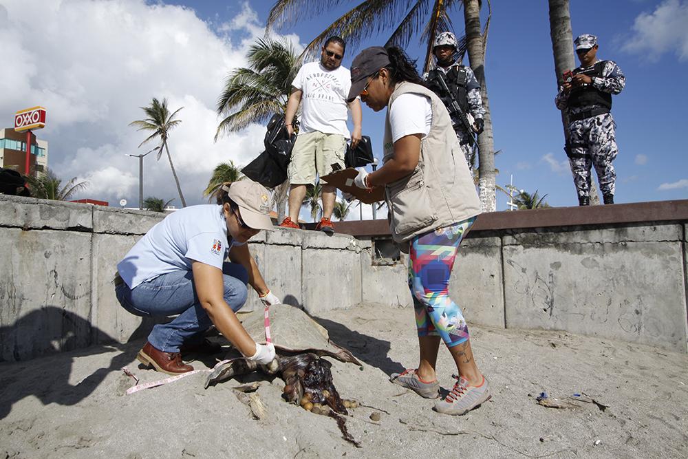 Hallan dos tortugas sin vida en playas de la zona conurbada