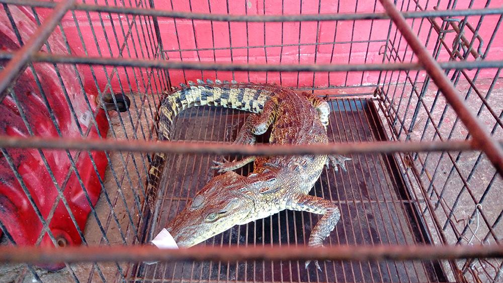 Capturan lagarto en calles de Coatzacoalcos