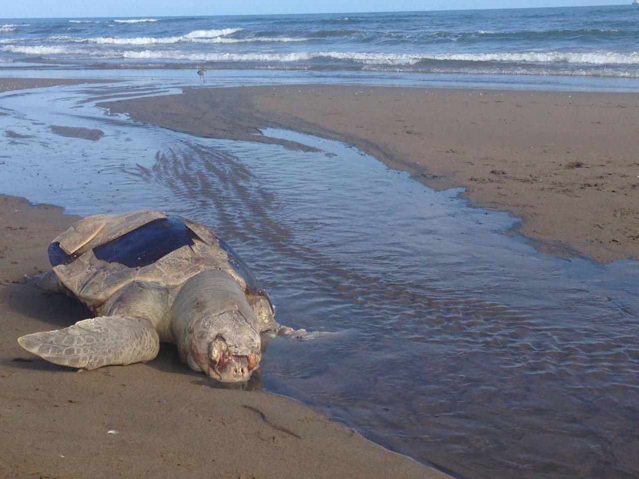 Aparece otra tortuga muerta en playa de Coatzacoalcos