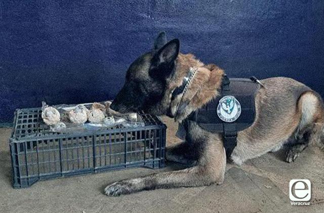 ¡Otra vez! agentes caninos detectan marihuana en CAXA