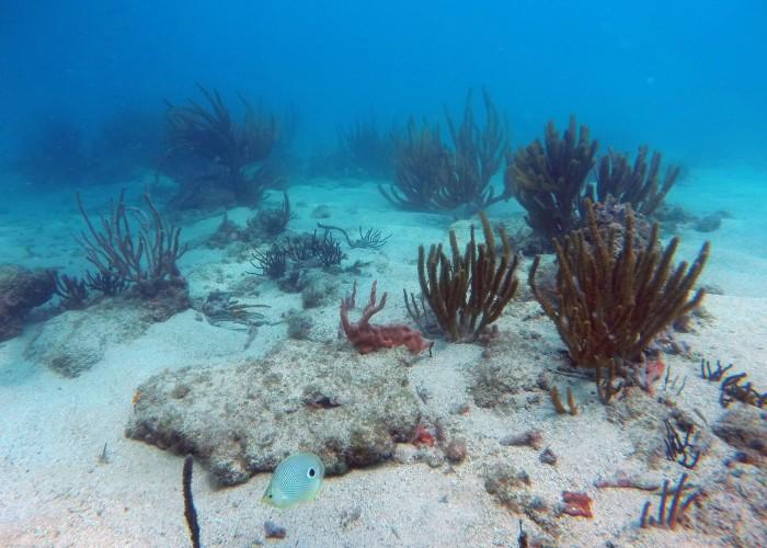Corales rescatados por ampliación del puerto, con 85% de nivel de supervivencia