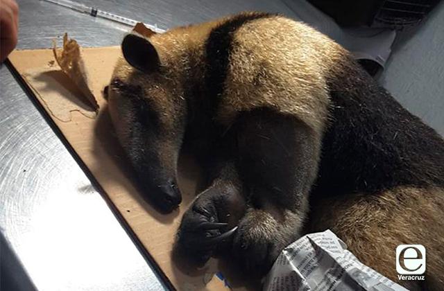 Muere oso hormiguero tras ser atacado a machetazos, en Coatza