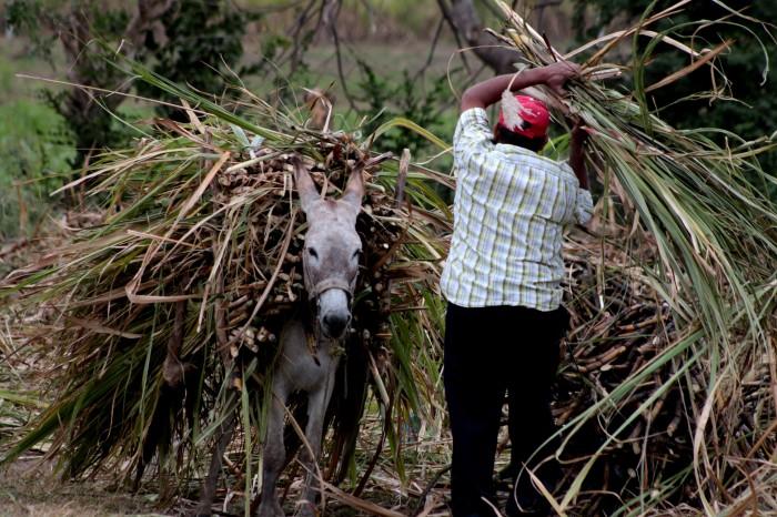 Destrucción por huracán Irma incrementaría precio del azúcar