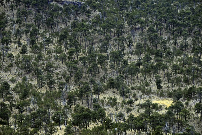 Tipo de roya daña plantaciones forestales de Perote