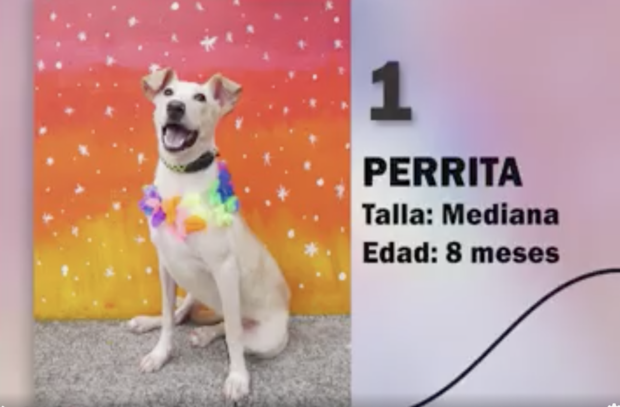 ¿Buscas lomitos? Ayuntamiento lanzó pasarela de perros en adopción
