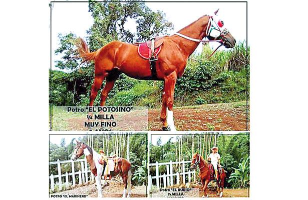Alcade de Veracruz pone en remate sus caballos pura sangre