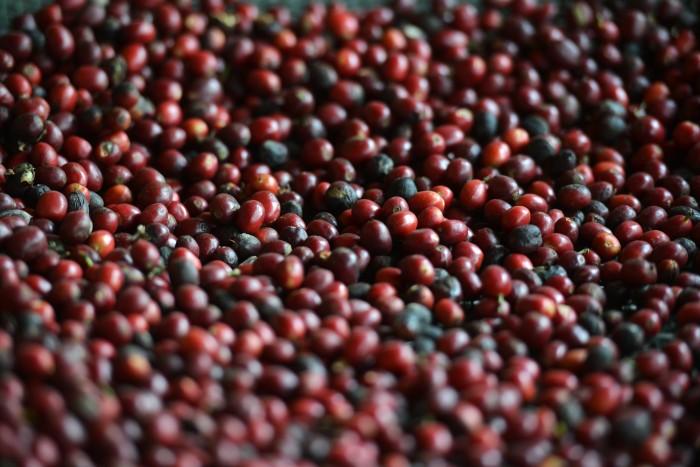 Cambio climático y roya ponen en riesgo a la cafeticultura