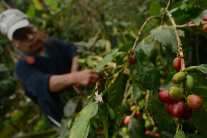 Desabasto de plantas para renovación de cafetales en Sagarpa