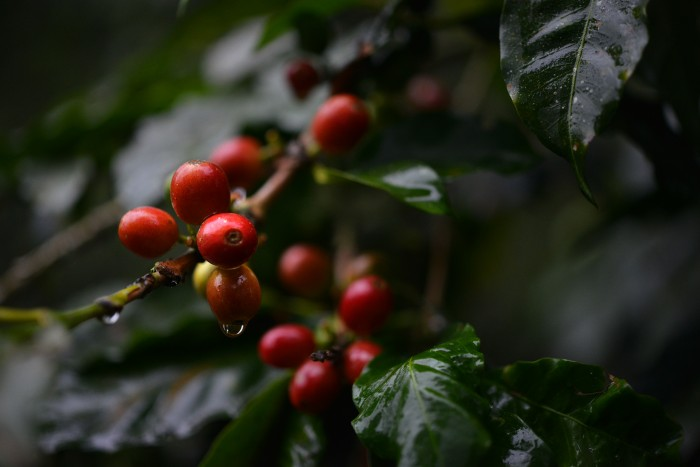 Coatepec cultiva apenas 10% del café que producía en 1980