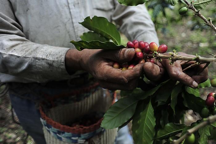 Cae 85% la producción cafetalera de Coatepec