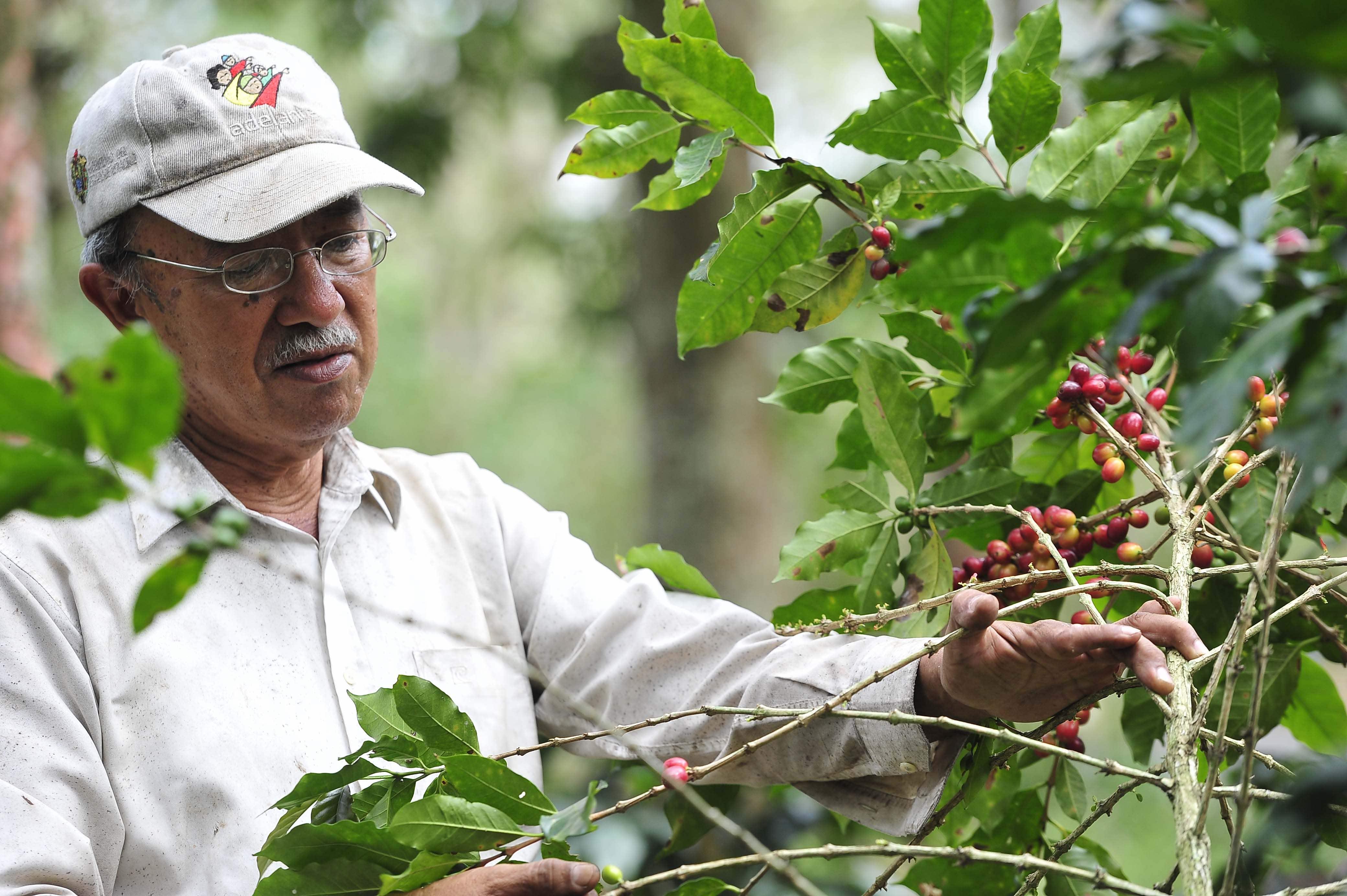 Producción de café en Veracruz caerá 70 % durante este año